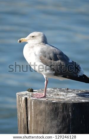 California Gull - stock photo