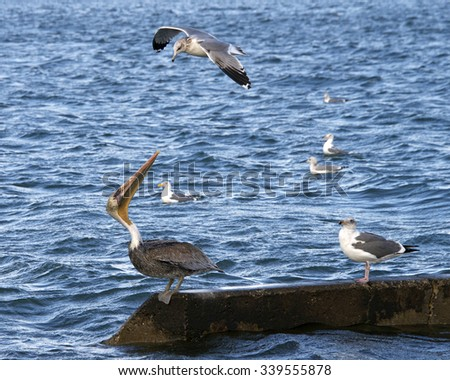 California Gull trying to chase Brown Pelican away, pelican fighting gull off, not going to give up his or her spot on the concrete piling. - stock photo