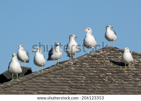 California Gulls posing in a row on a roof