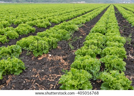 California lettuce growing in rows in a field - stock photo