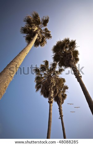 California Palm Trees With Birds Flying By