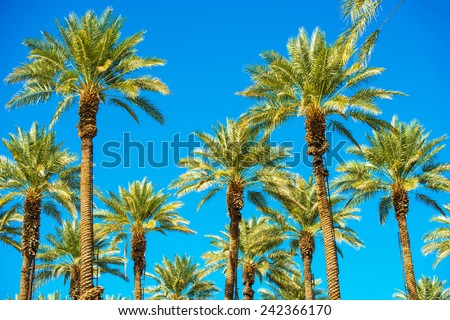 California Palms and the Blue Sky. Palms Plantation. Ladders on the Trees. - stock photo