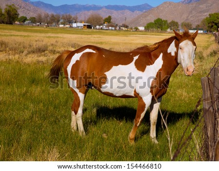 California pinto paint horse in farm grazing looking camera - stock photo