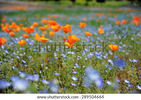 California poppy field - stock photo