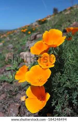 California poppy flowers, Big Sur, California, USA - stock photo
