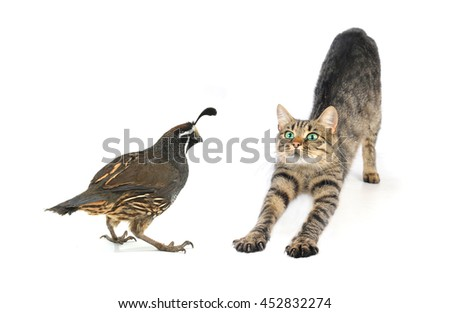 California Quail and cat sitting on a white background