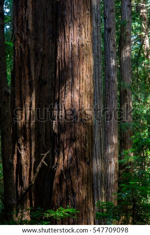 California redwood (Sequoia sempervirens) in the Muir Woods National Monument near San Francisco, California, USA.