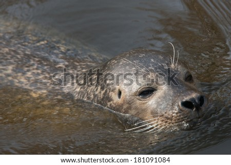 California sea lion with copy space - stock photo