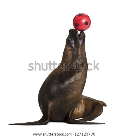 California Sea Lion, 17 years old, playing with ball against white background - stock photo
