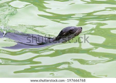California Sea Lion (zalaphus californianus) - stock photo