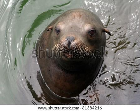 California Sea Lion (Zalophus californianus) - stock photo