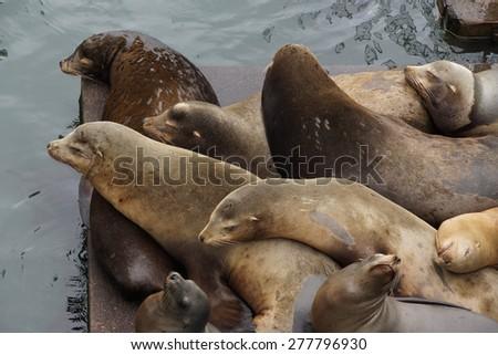 California sea lions sleep in huddled piles on a crowded wharf,  (Zalophus californianus) , Newport Bay Harbor,Oregon coast - stock photo