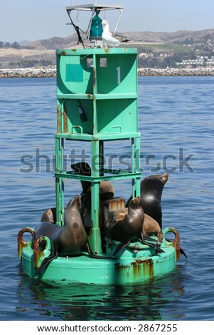 """California Sea Lions  """"Zalophus californianus"""" relax and soak in the sun on a bouy in the pacific ocean - stock photo"""