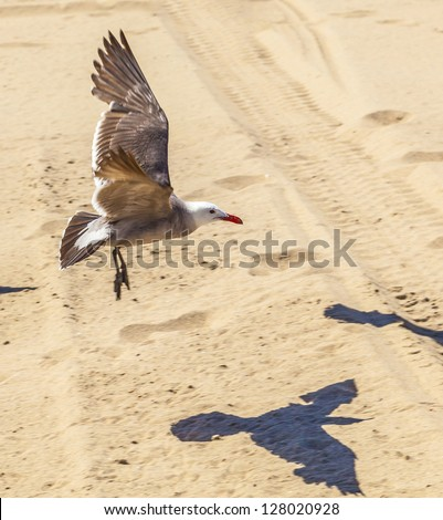 california seagulls at the sandy beach - stock photo