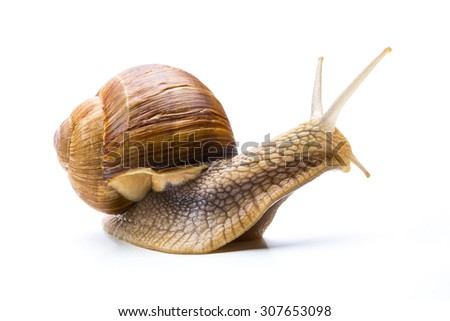 California Snail  - stock photo