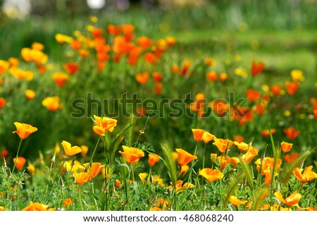 California Spring Orange Poppies in a garden in Florence, Tuscany, Italy