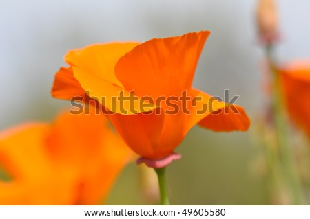 California state flower poppy macro close stock photo royalty free california state flower poppy macro close up mightylinksfo Gallery