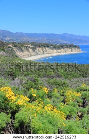 California, United States - Pacific coast view in Malibu. Point Dume State Beach with Giant Coreopsis (Giant sea dahlia) flowers.