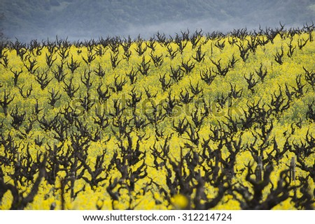 California wine country, organic vineyard with yellow mustard cover crop for soil nutrition. - stock photo