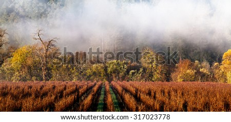 California wine country vineyard landscape in winter with fog drifting over the rows of grape vines. Location: Sonoma County wine region - stock photo
