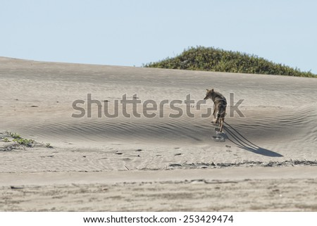 californian coyote on the sand - stock photo