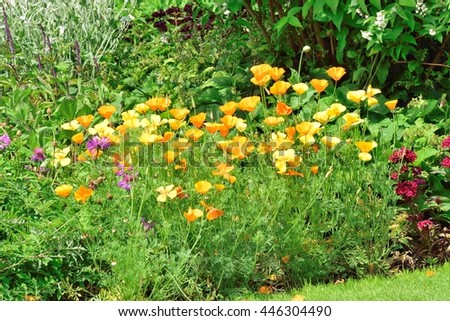 Californian Poppies in garden border. - stock photo