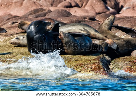 Californian sea lions seals while relaxing on rocks - stock photo
