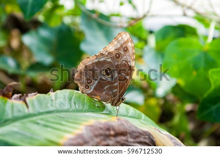 Caligo eurilochus brasiliensis on green leaf