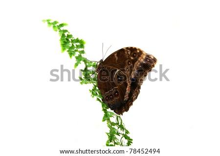 Caligo eurilochus butterfly isolated on white - stock photo