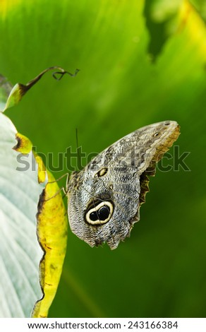 Caligo memnon, also known as Owl butterfly on a leaf (ventral view) - stock photo