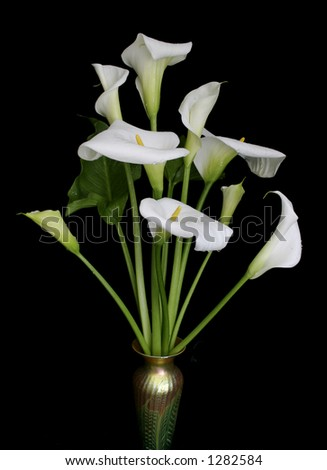 Calla lilies against black background