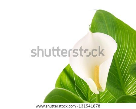 calla lilies with green leaves isolated on white background - stock photo