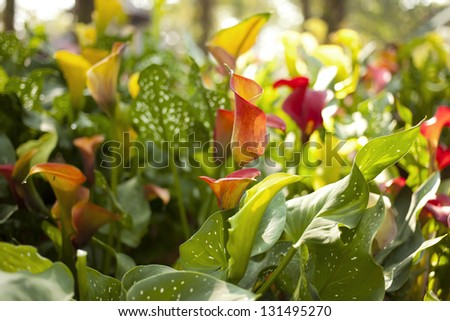 calla lily, colorful blossom calla lily plant mixed in the garden - stock photo