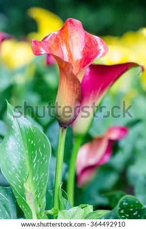Calla lily field. Bouquet of multicolored calla lilies. - stock photo