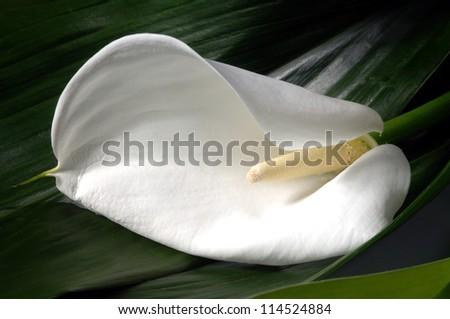 Calla lily flower in a garden, closeup of photo - stock photo