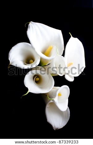 calla lily flower in black background