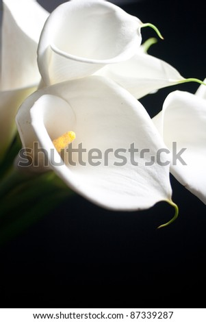 calla lily flower in black background - stock photo