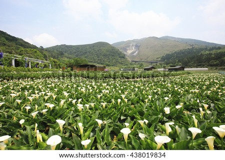 Calla lily,many beautiful white flowers blooming in the countryside with blue sky,arum lily,gold calla - stock photo