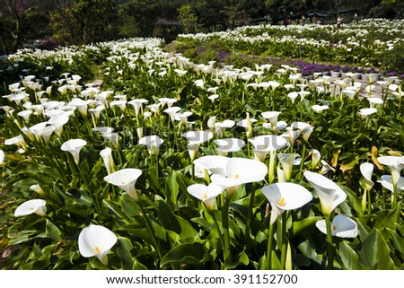 Calla lily,many beautiful white flowers blooming in the garden in spring,arum lily,gold calla - stock photo