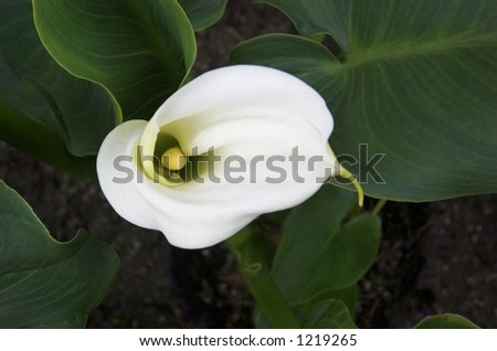 Calla lily seen from above - stock photo