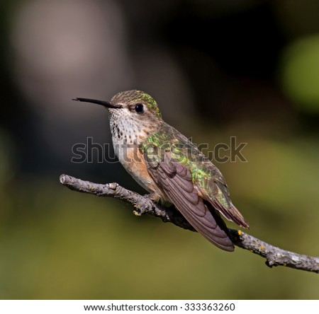 Calliope Hummingbird -female