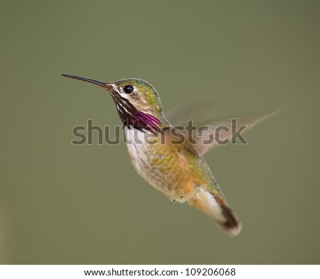 Calliope Hummingbird in flight with purple neck streaking clearly visible; rapidly beating wings exhibit motion blur