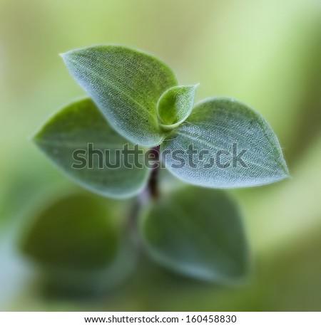 Callisia repens. House plants - stock photo