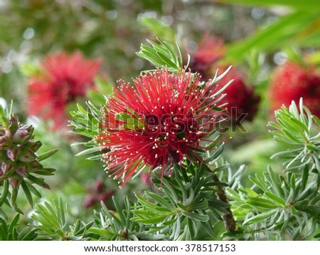 Callistemon bush on the isles of Scilly, England