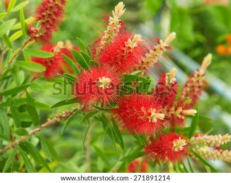 Callistemon flowers red tree - stock photo