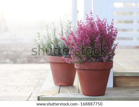 Calluna in a pot - stock photo