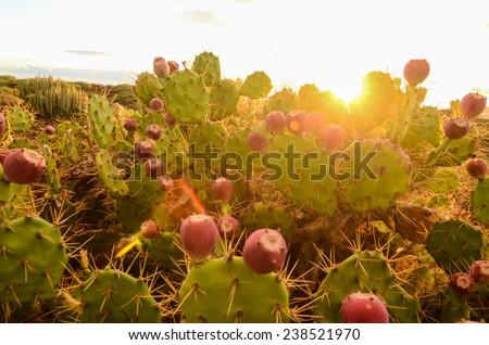 Calm Cactus Desert Sunset in Tenerife Canary Island - stock photo