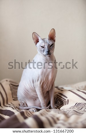 Calm cat sphinx sitting on a bed in the bedroom - stock photo