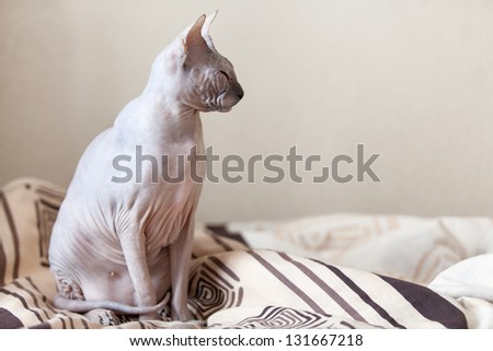 Calm cat sphinx sitting on a bed in the bedroom. Copyspace - stock photo