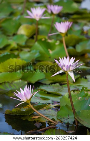 Calm Meditation Blooming Serenity  - stock photo